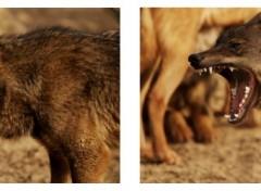 Fonds d'écran Animaux Wolf