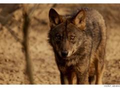 Fonds d'écran Animaux Wolf .1