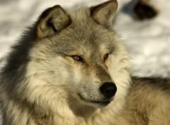 Fonds d'écran Animaux Loups