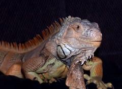 Fonds d'écran Animaux Iguane mâle