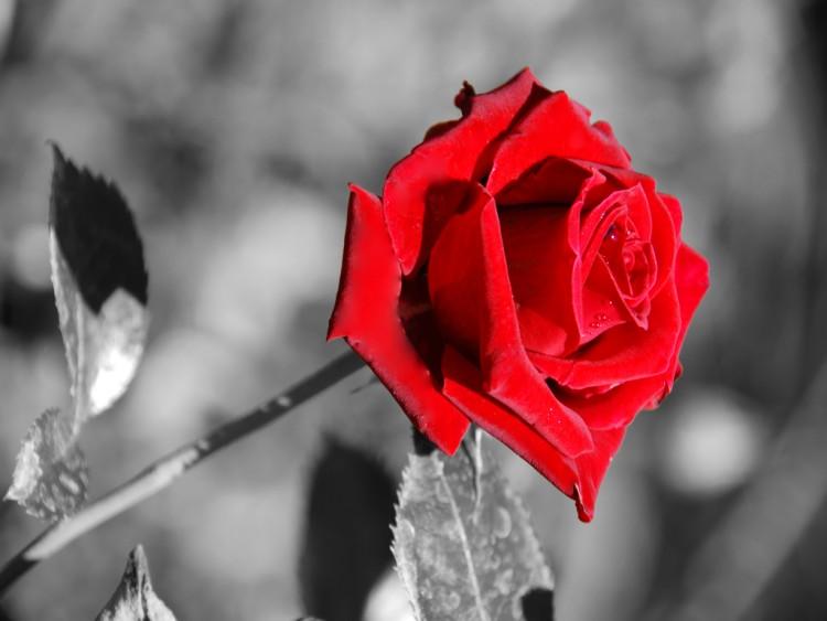 Fonds D Ecran Nature Fonds D Ecran Fleurs Rose Rouge Par Lordharko