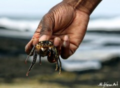 Wallpapers Animals Crabe de l'ile Maurice