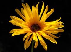 Fonds d'écran Nature Fleur jaune