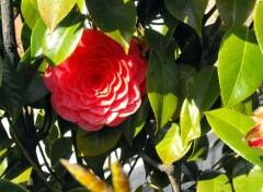 Fonds d'écran Nature Fleur rouge