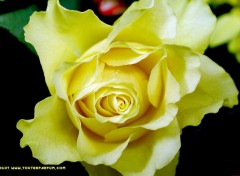 Fonds d'écran Nature Rose jaune