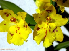 Wallpapers Nature Orchidée jaune