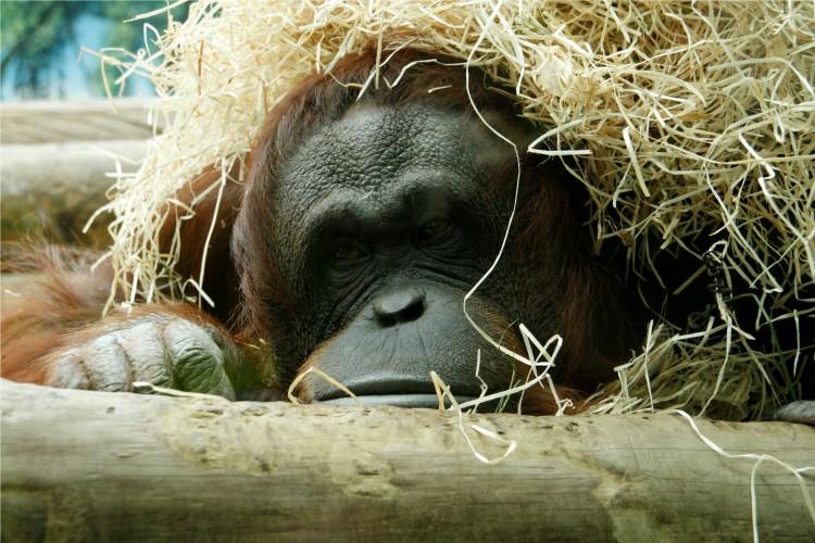 Fonds d'écran Animaux Singes Le repos du singe