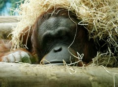 Wallpapers Animals Le repos du singe