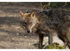 Fonds d'écran Animaux Wolf .6