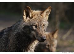 Fonds d'écran Animaux Wolf .8