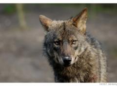Fonds d'écran Animaux Wolf .9