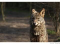 Fonds d'écran Animaux Wolf .10