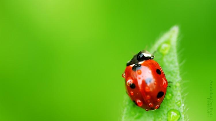 Fonds d'écran Animaux Insectes - Coccinelles Petite rouge.