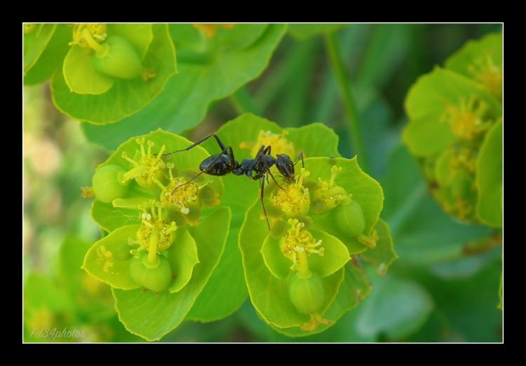 Fonds d'écran Animaux Insectes - Fourmis Wallpaper N°278840
