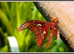 Wallpapers Animals Le plus gros papillon du monde....