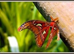 Fonds d'écran Animaux Le plus gros papillon du monde....