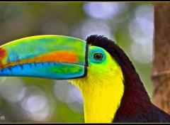Wallpapers Animals Toucan