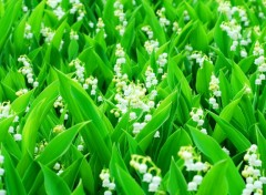 Fonds d'écran Nature Lily of the valley