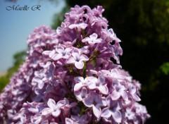 Fonds d'écran Nature lilas