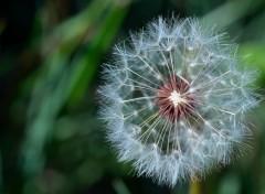 Fonds d'écran Nature variation sur graines de pissenlit