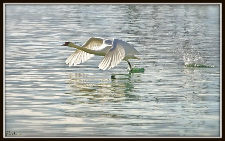Wallpapers Animals Birds - Swans Cygne volant