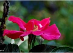 Fonds d'écran Nature Rose de printemps