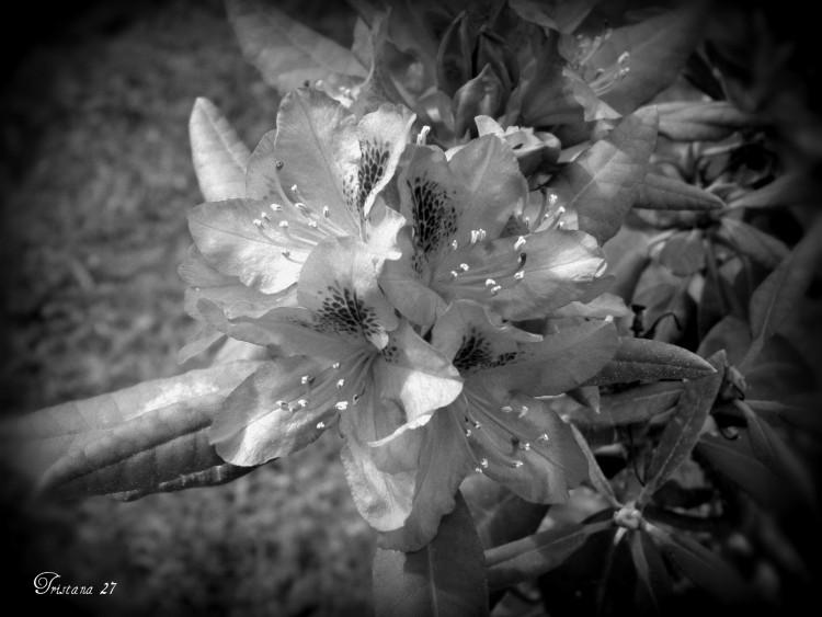 Fonds D Ecran Nature Fonds D Ecran Fleurs En Noir Et Blanc Par