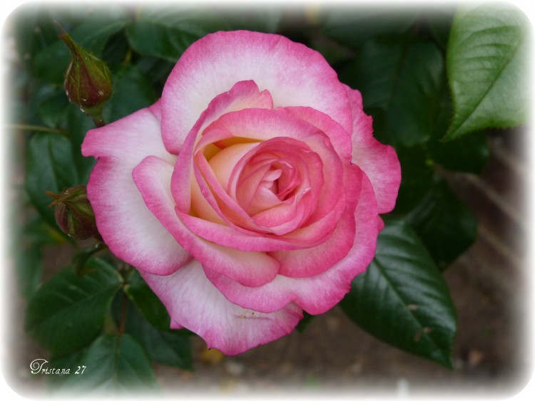Wallpapers Nature Flowers Rose ouverte...