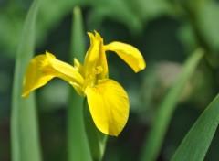 Fonds d'écran Nature Iris