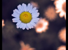 Wallpapers Nature Marguerite