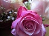 Wallpapers Nature Rose rose