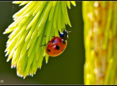 Wallpapers Animals Coccinelle