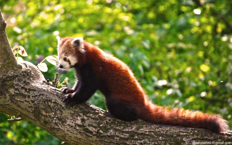 Fonds d'écran Animaux Pandas roux Pandas Roux