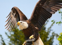 Wallpapers Animals Aigle