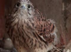 Fonds d'écran Animaux Jeune faucon crécerelle