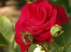Wallpapers Nature rose