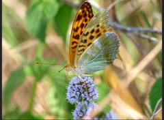 Wallpapers Animals Papillon