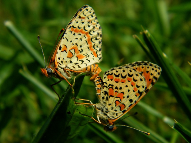 Wallpapers Animals Insects - Butterflies reproduction....