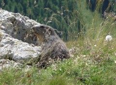 Wallpapers Animals marmotte des alpes