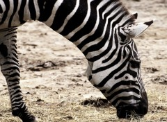 Wallpapers Animals Zebra