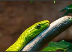 Fonds d'écran Animaux Mamba vert