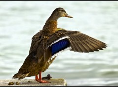Wallpapers Animals Un canard qui se secoue les plumes