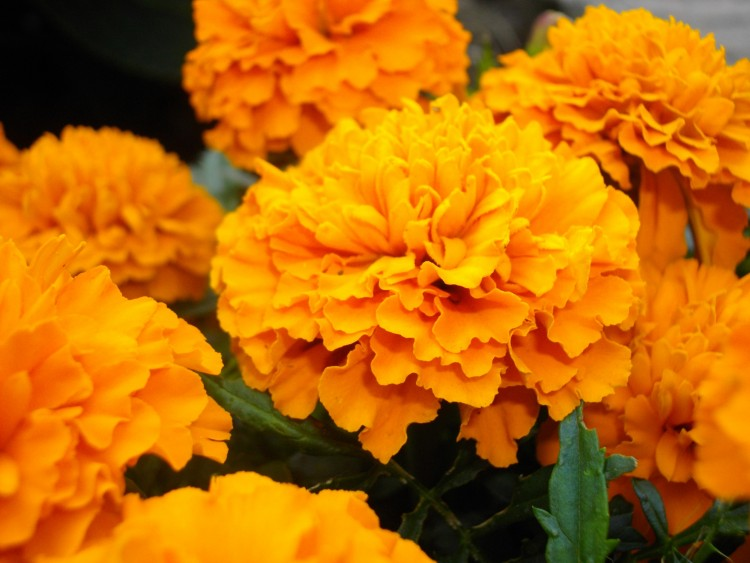 Wallpapers Nature Flowers Oeillet d'inde Pepito Orange