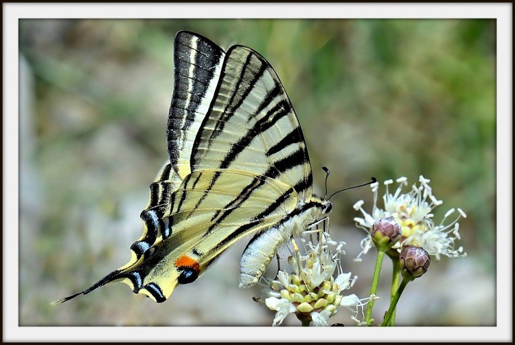 Wallpapers Animals Insects - Butterflies Le Flambé (souvent confondu avec le Machaon)