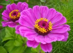 Wallpapers Nature Fleurs fuchsia