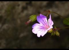 Fonds d'écran Nature Mauve