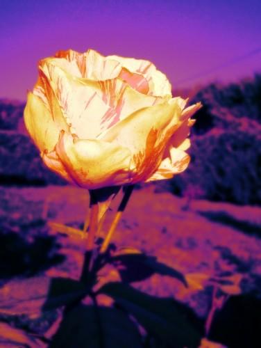 Fonds d'écran Nature Fleurs Wallpaper N°286716