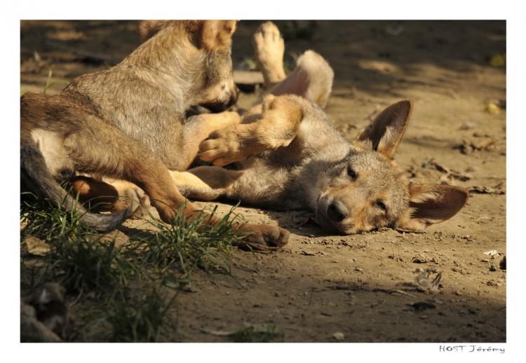 Fonds d'écran Animaux Loups Une envie de dormir