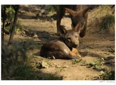 Fonds d'écran Animaux Jeune Loup .2