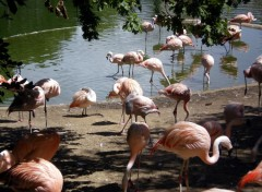 Wallpapers Animals les flamants roses
